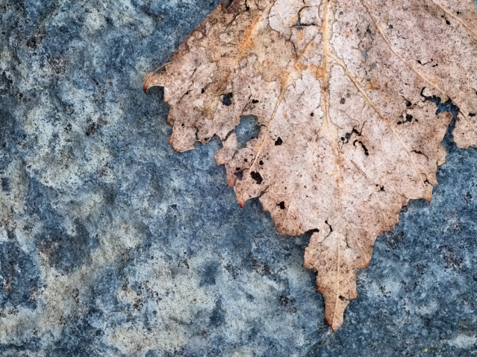 A decaying leaf marks the passage of the seasons on Pender Island, British Columbia, Canada. Photo by Salal Studio.