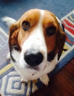 seamus the basset hound