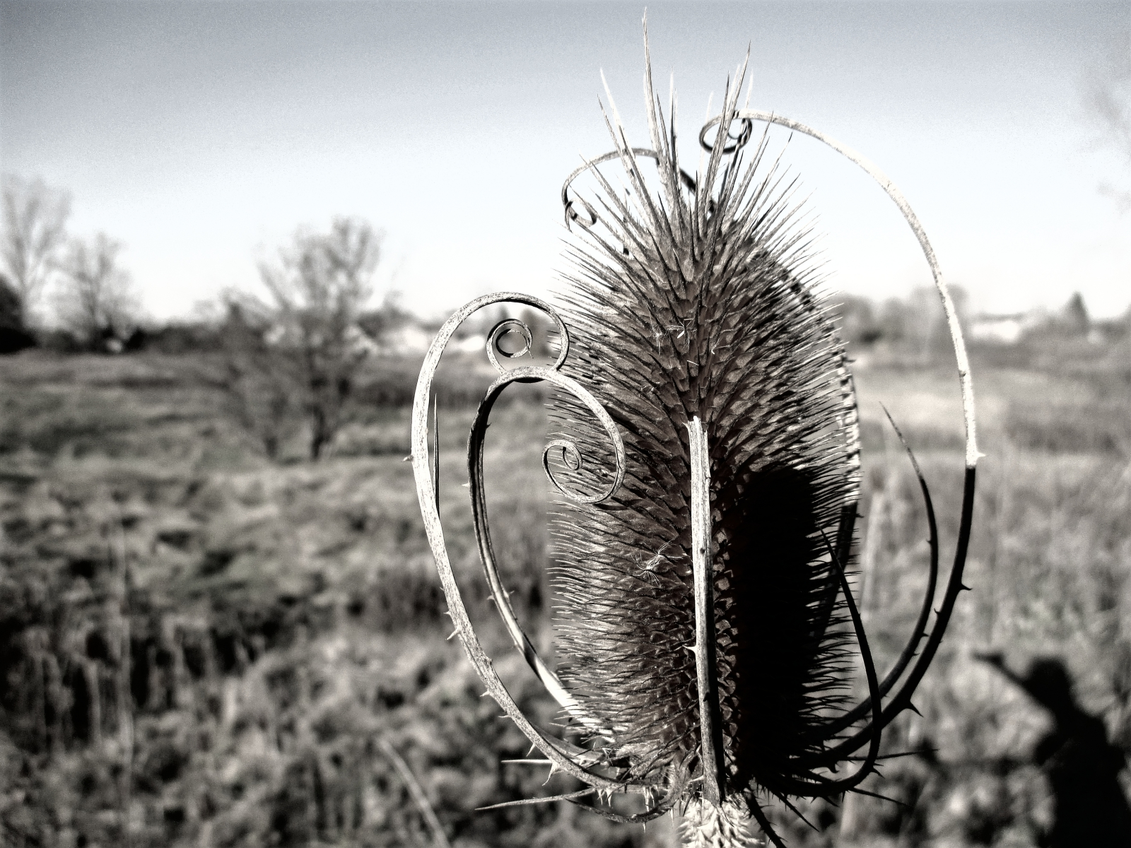 """teasel in b&w,"" by PaulaB at The Temenos Journal."