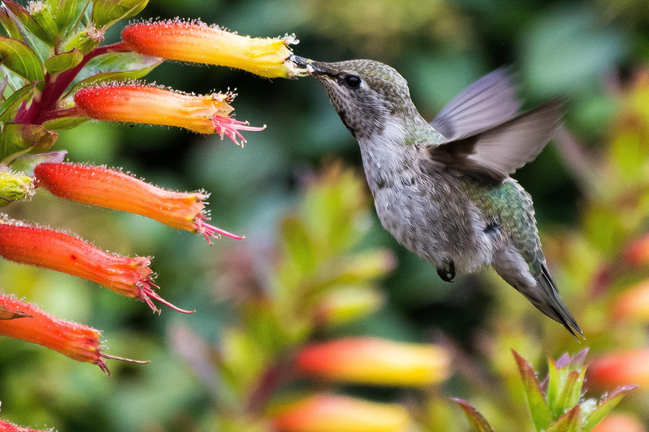 Sprites of San Francisco: Anna's Hummingbird