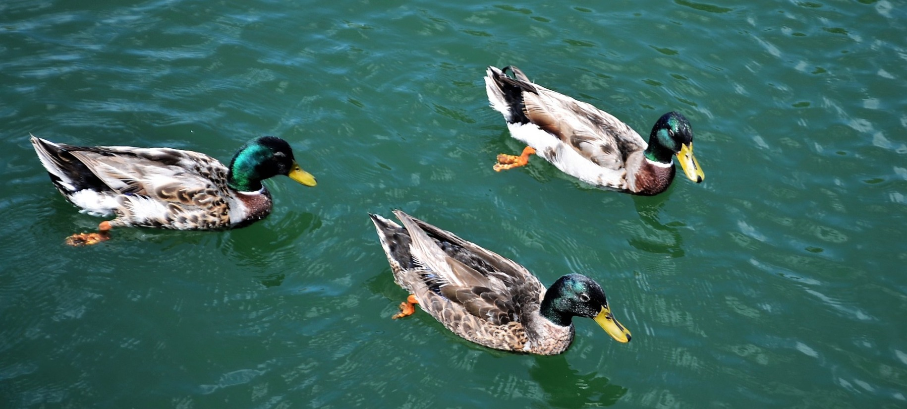 three ducks in a pond